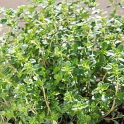 Citroentijm (Thymus x citriodorus)