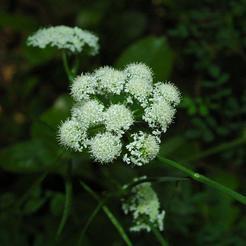 Aardkastanje (Bunium bulbocastanum)