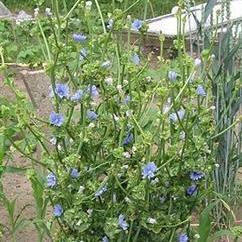 Andijvie (Chihorium endivia)