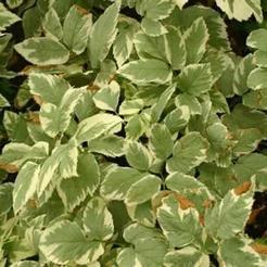 Bont zevenblad (Aegopodium podagraria 'Variegatum')