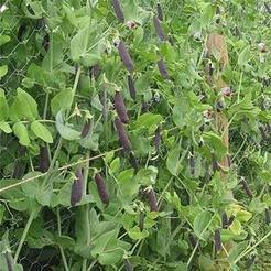 Capucijner (Pisum sativum)