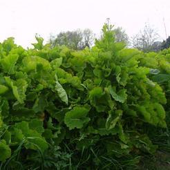 Eeuwig moes (Brassica oleracea)