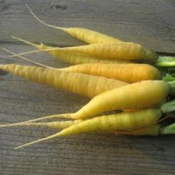 Gele Wortel (Daucus carota)