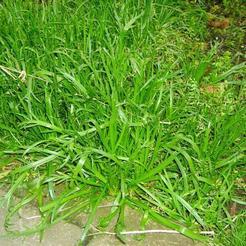 Hertshoornweegbree (Plantago coronopus)