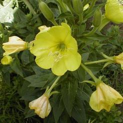 Middelste Teunisbloem (Oenothera biennis)