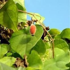 Rode kiwi komkommer (Thladiantha dubia)