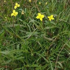 Wilde Raket (Diplotaxis tenuifolia)
