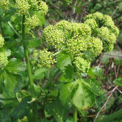 Zwartmoeskervel (Smyrnium olusatrum)