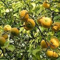 Driebladige citroen (Poncirus trifoliata)