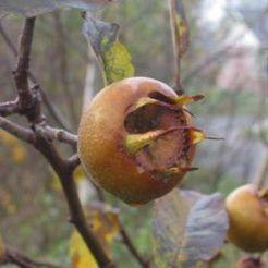 Mispel (Mespilus germanicus)