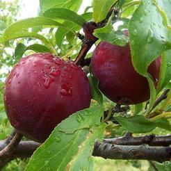 Pruim (Prunus domestica)