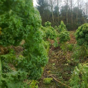 Kool 'Boerenkool Groen'