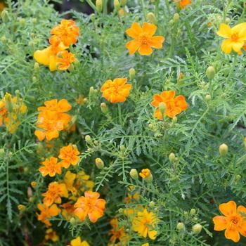 Tagetes tenuifolium 'Orange'