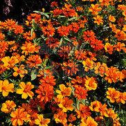 Tagetes tenuifolium 'Marigold'