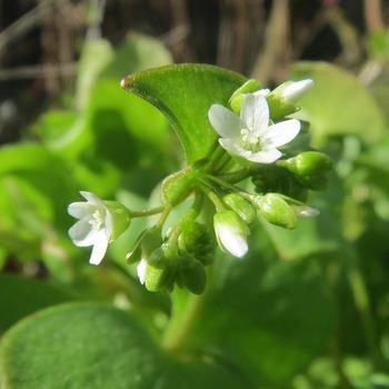 Postelein Winter Claytonia perfoliata