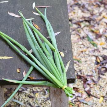 Bieslook  Grof (Allium fistulosum)