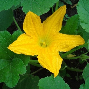 Courgette 'Table King'