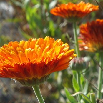 Goudsbloem 'Oranje'