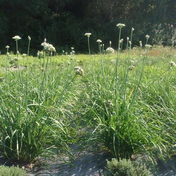 Bieslook Chinese (Allium tuberosum)